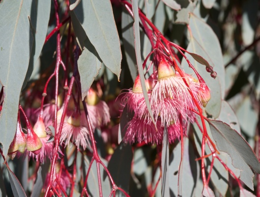 Closeup Eucalyptus flower